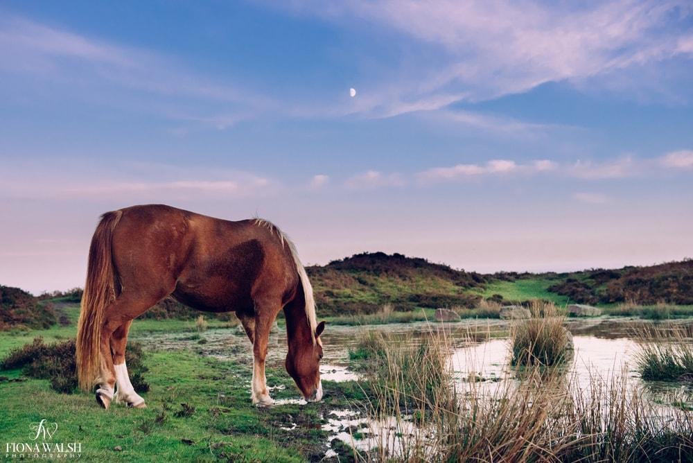 quantock-ponies