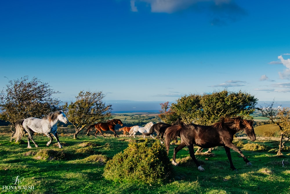 exmoor-ponies-photos