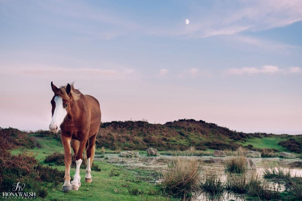 exmoor-ponies-prints