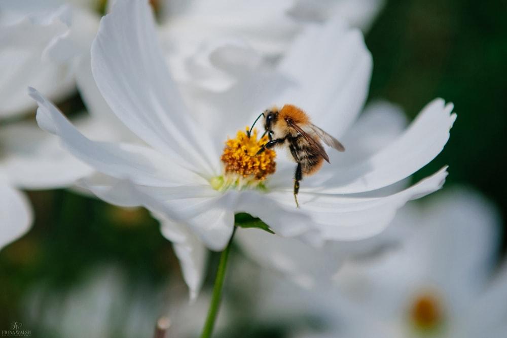 bumble-bee-photos