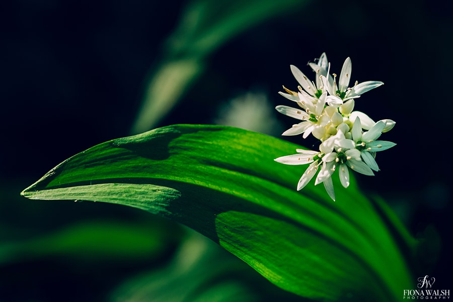 wild-garlic-photos2