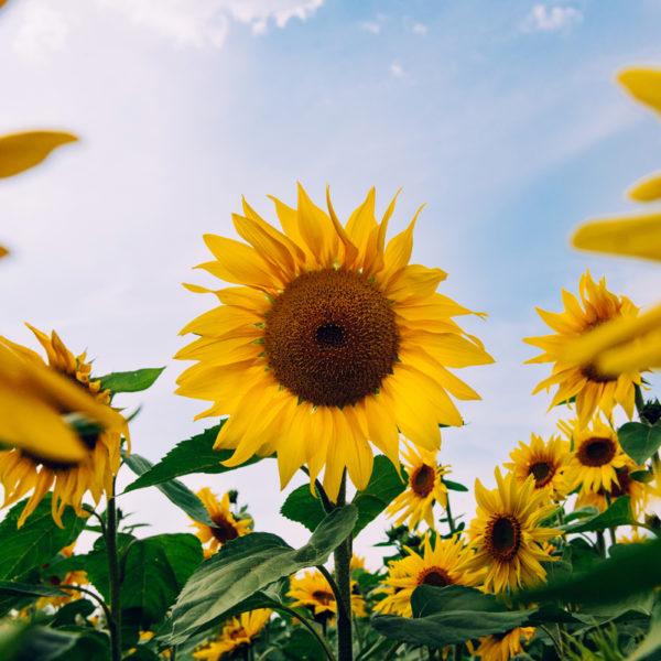 Sunflower Field Pictures in Somerset